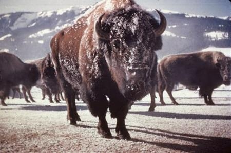 Oregon man fined for flying drone that buzzed bison at