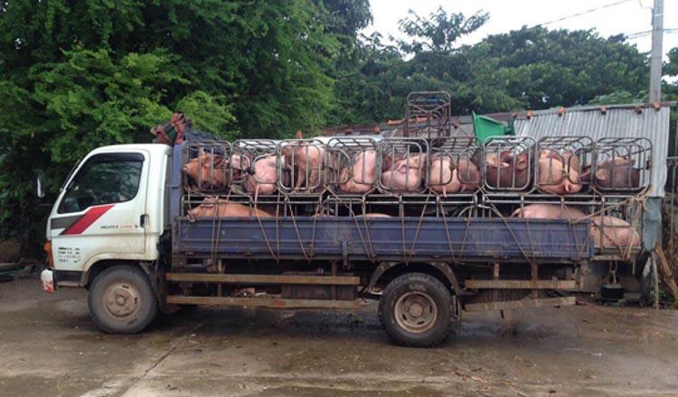 Police chase pig trucks - Khmer Times