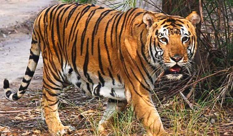 Wild tiger plan inches forward - Khmer Times