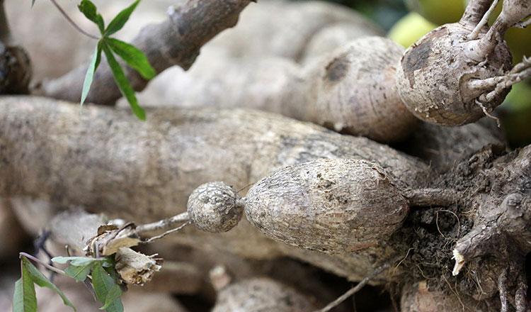 Centre develops high-yield cassava seedlings - Khmer Times