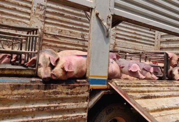 African swine flu