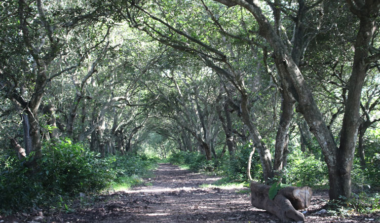 sapodilla plantation