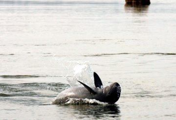 mekong dolphin